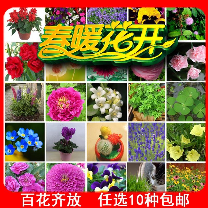 春夏季奇趣植物观赏花卉 四季盆栽 茶花香草牡丹康乃馨驱蚊草种子