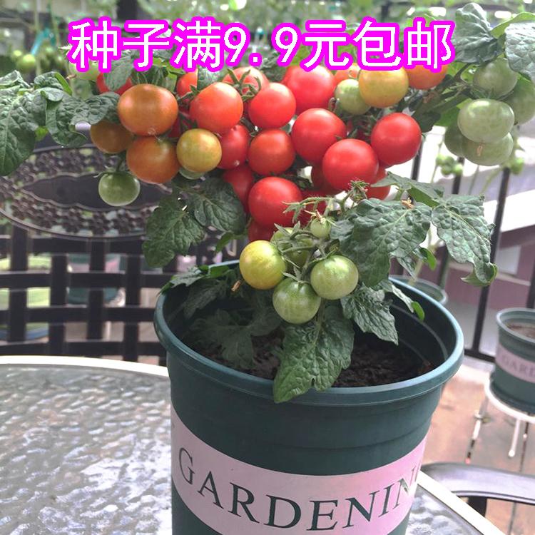红珍珠番茄种子原装20粒 西红柿种子 阳台盆栽水果种籽 迷你番茄