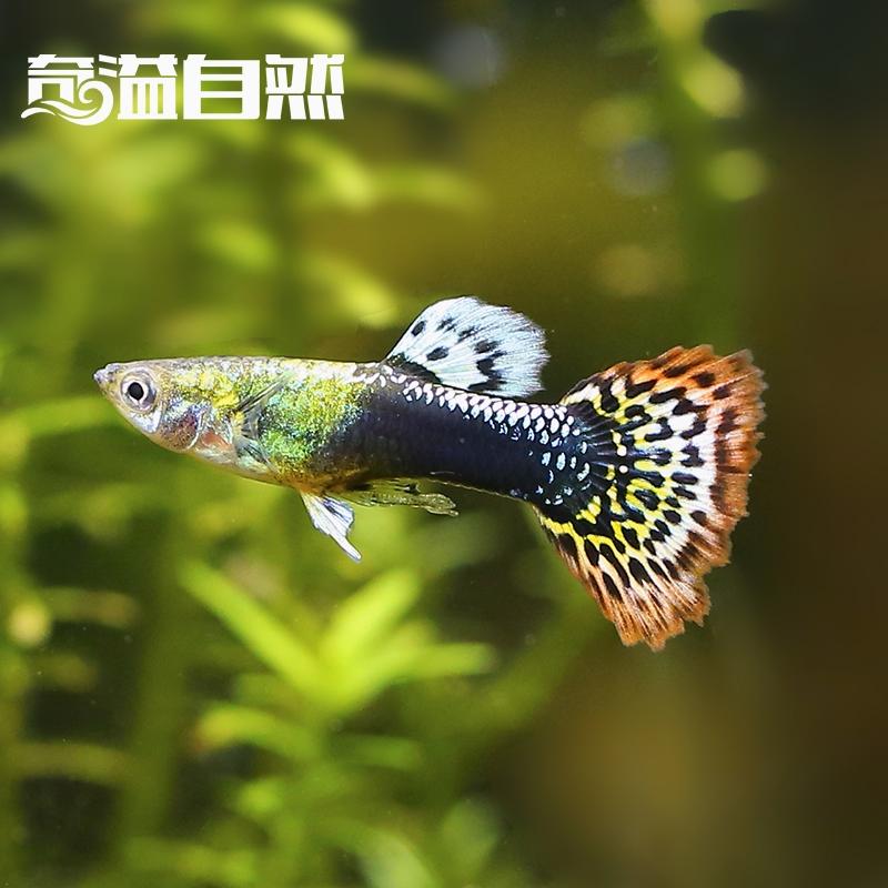 Сто трава сад павлин рыба небольшой тропический часы награда рыба пресноводный часы награда павлин рыба аквариум часы награда рыба странный переполнение природный