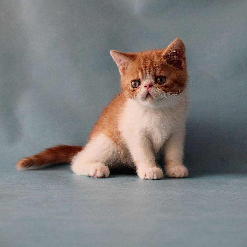南京唐钰纯猫-加菲猫-送女友-送老婆-送女神-包存活-当天送猫到家