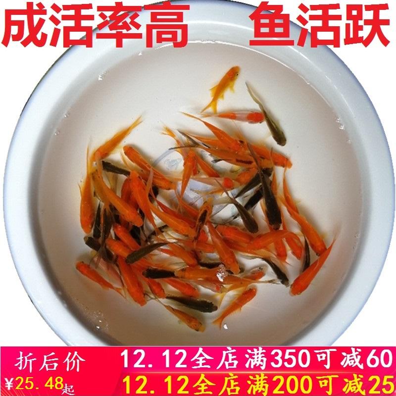 观赏鱼冷水放生红草金小锦鲤锦鲫耐易养活龙鱼闯缸活饲料金鱼活体