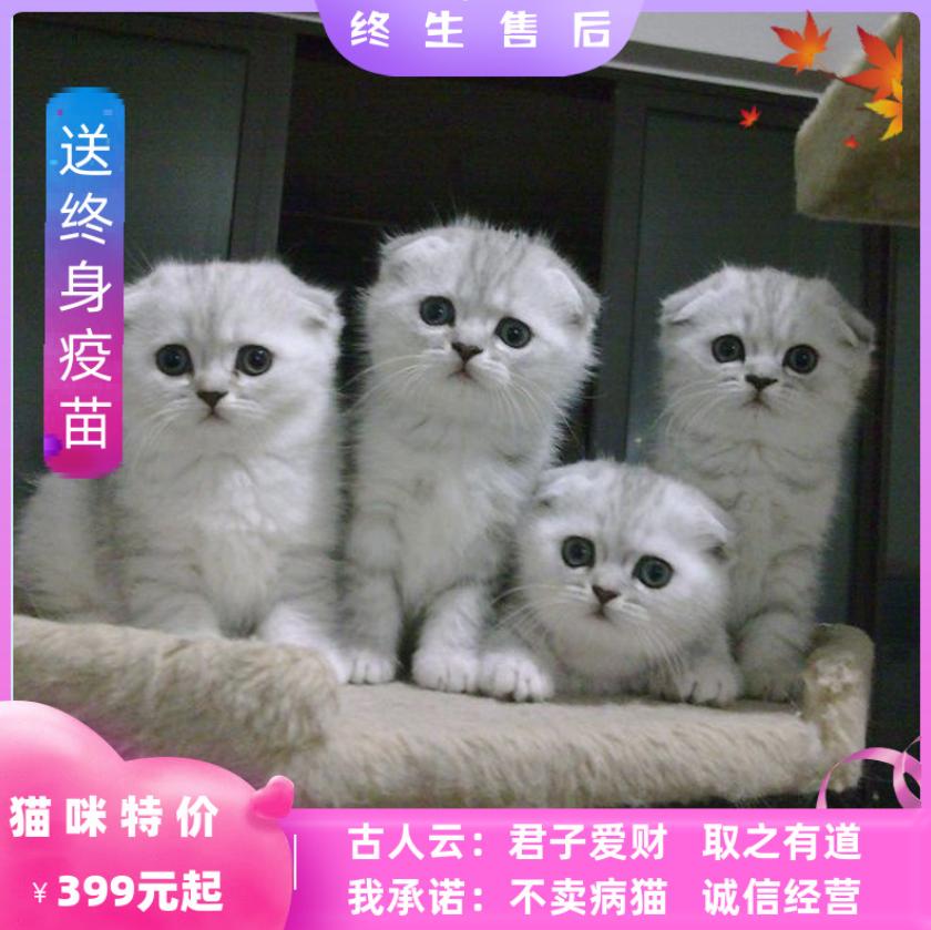 英短蓝猫宠物活物猫咪活幼体加菲猫幼猫折耳美短布偶缅因小猫幼崽