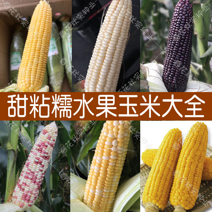 超甜水果玉米种子 四季播蔬菜 冰糖牛奶白粘黑糯五彩草莓籽高产孑
