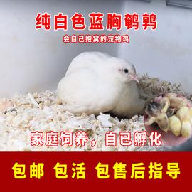芦丁鸡活苗活体下蛋迷你宠物鸡观赏鸟可孵化受精种蛋蓝胸鹌鹑活物图片