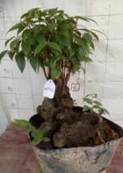 南烛乌饭树熟桩树桩盆阳台 庭院盆栽绿植四季长青反辐射净化空气1