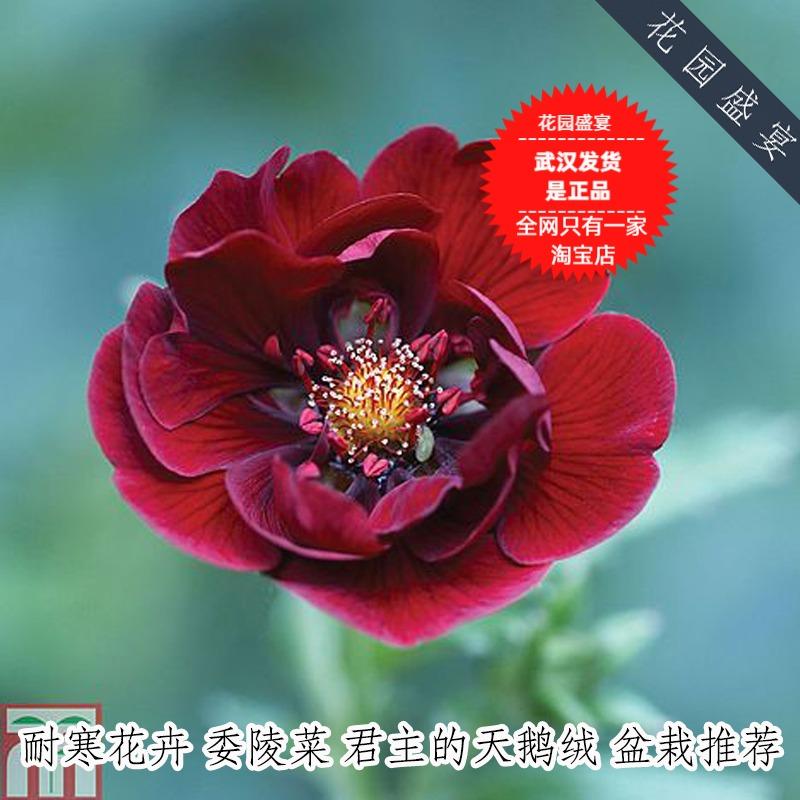 盆栽花卉5粒种子 委陵菜 君主的天鹅绒 英国TM 耐寒多年生