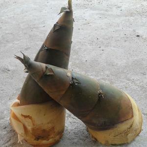 广西竹笋新鲜现挖夏笋现货大头笋时令蔬菜脆笋农家野生笋苦笋甜笋