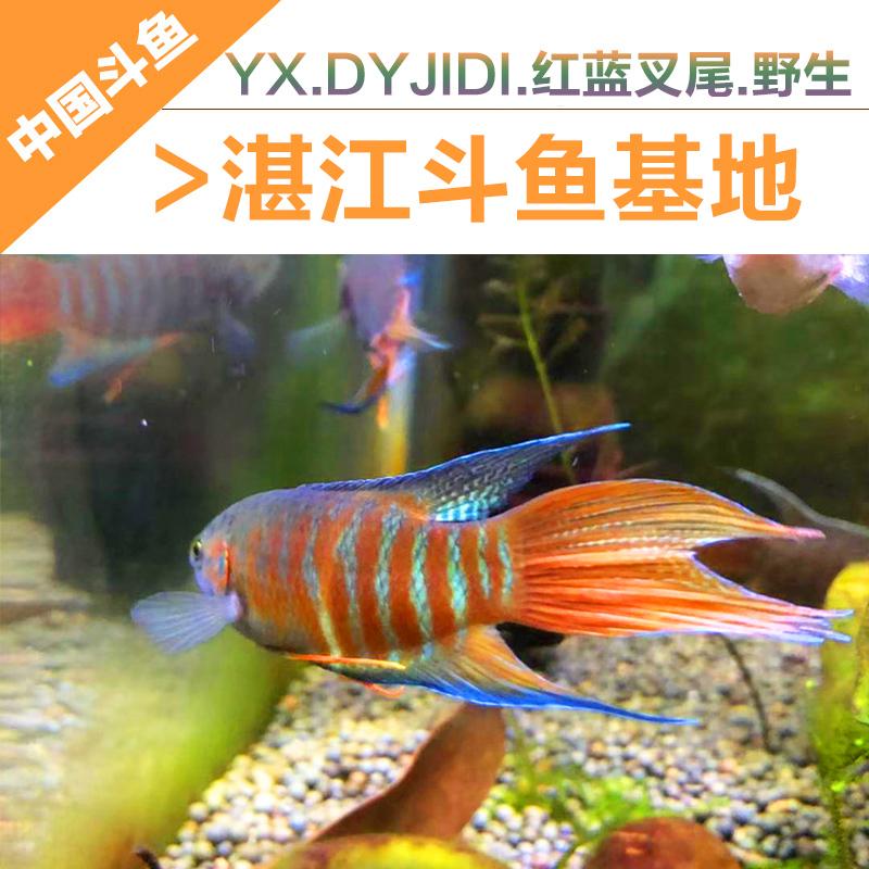 中国斗鱼 野生普叉菩萨鱼淡水大巨普叉尾活鱼热带活体观赏鱼包邮