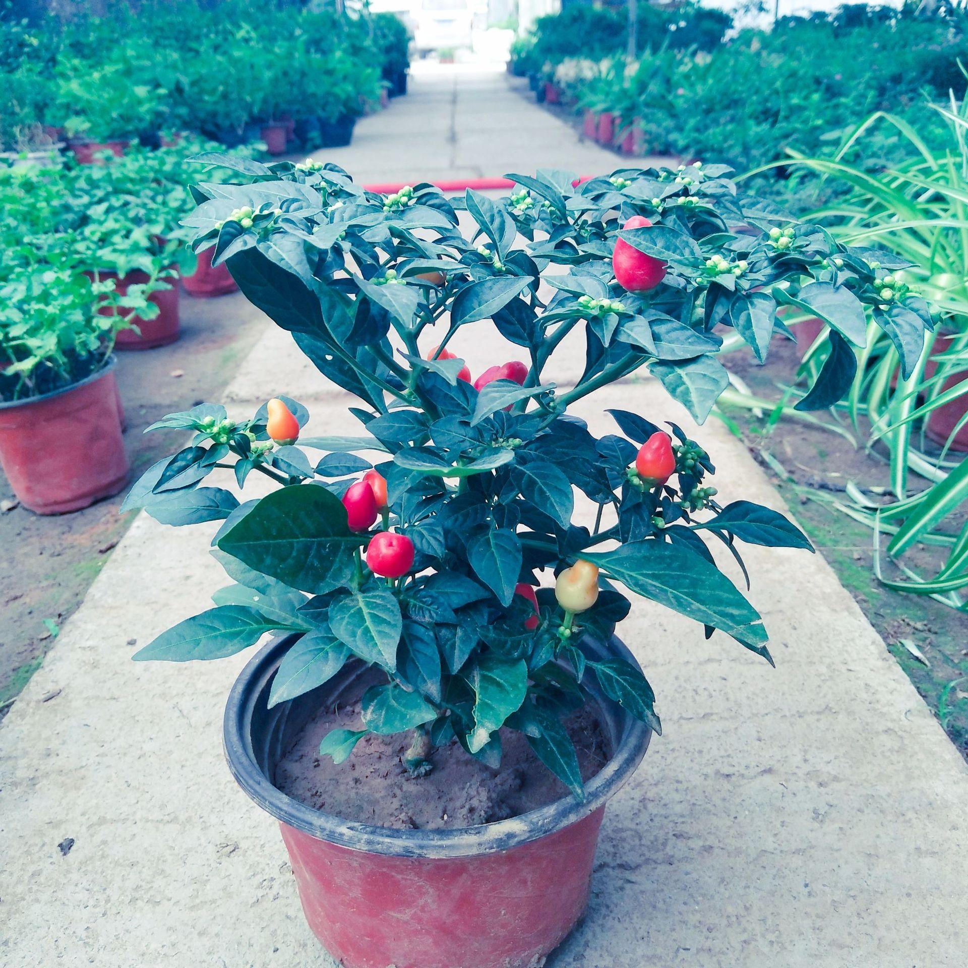 サンショウの種サンショウの唐辛子の超辛い木は春と秋に四季食用の五色の鉢植えのパプリカの苗です。