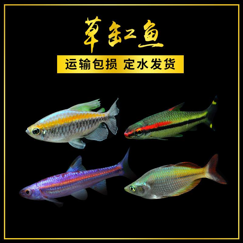 一眉道人鱼紫光精灵小型热带观赏鱼活体鱼水族宠物鱼红眉道人草缸