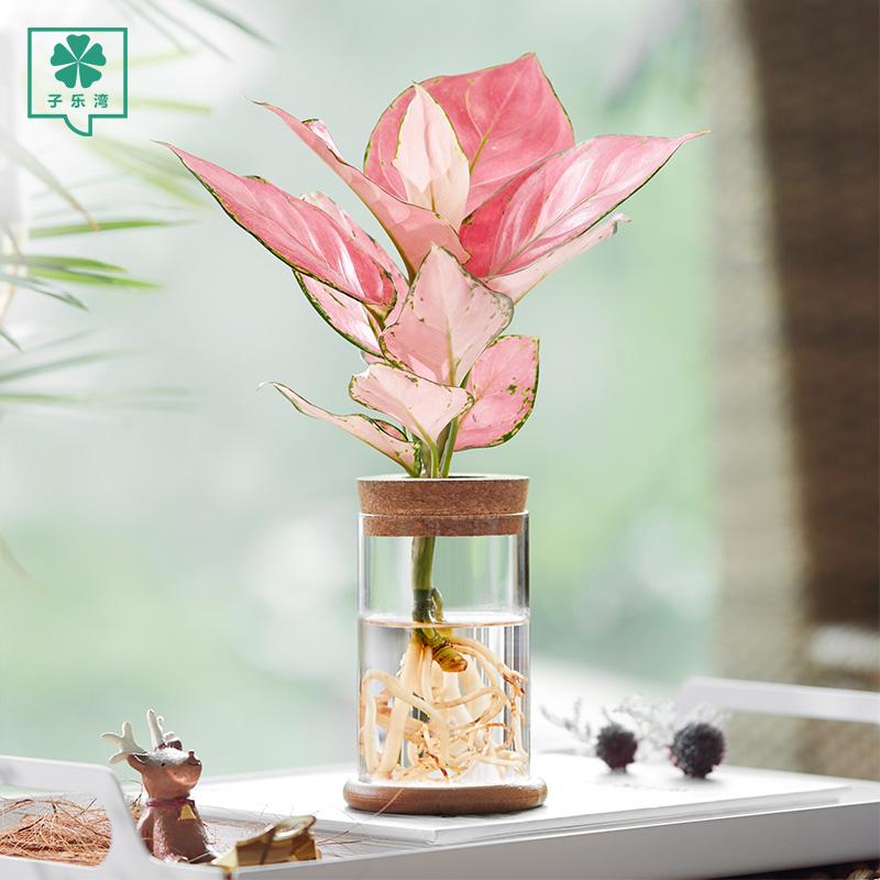 竹芋水培植物办公室内绿萝盆栽文竹桌面玻璃瓶琴叶榕好养小绿植