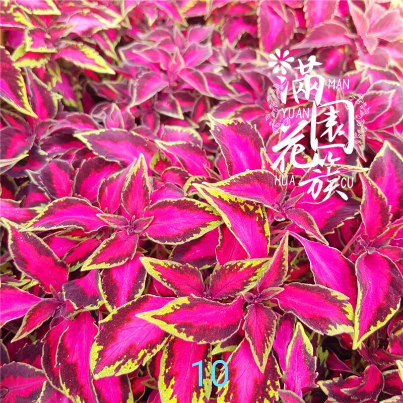 满38元包邮满园花簇进口彩叶草穴盘苗多色可选