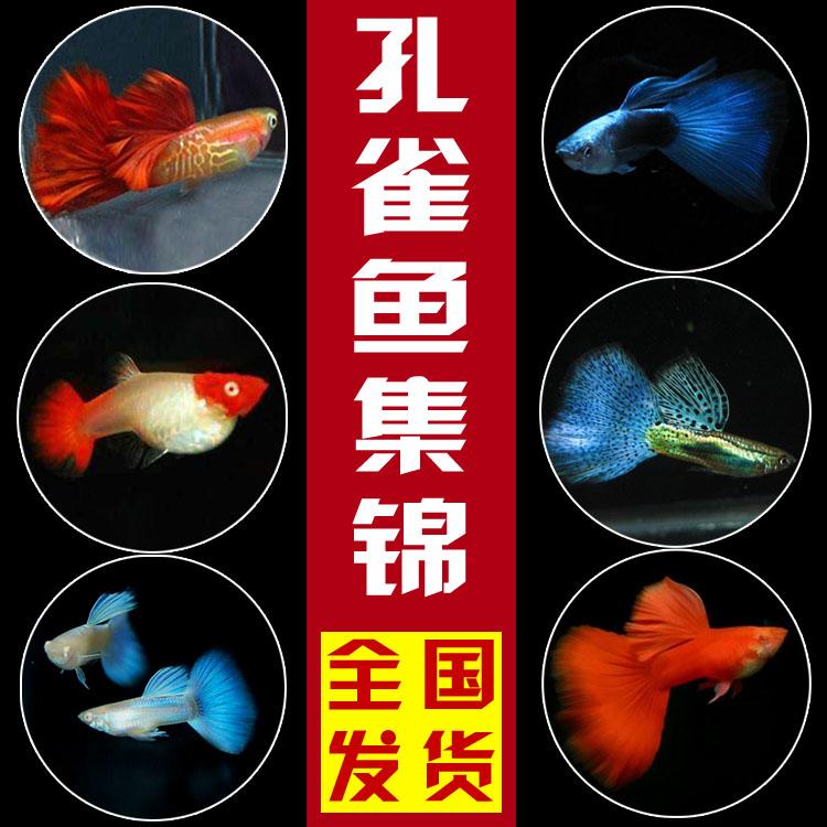 热带鱼孔雀鱼凤尾鱼彩虹鱼观赏鱼活体小型淡水鱼繁殖胎生鱼 包邮