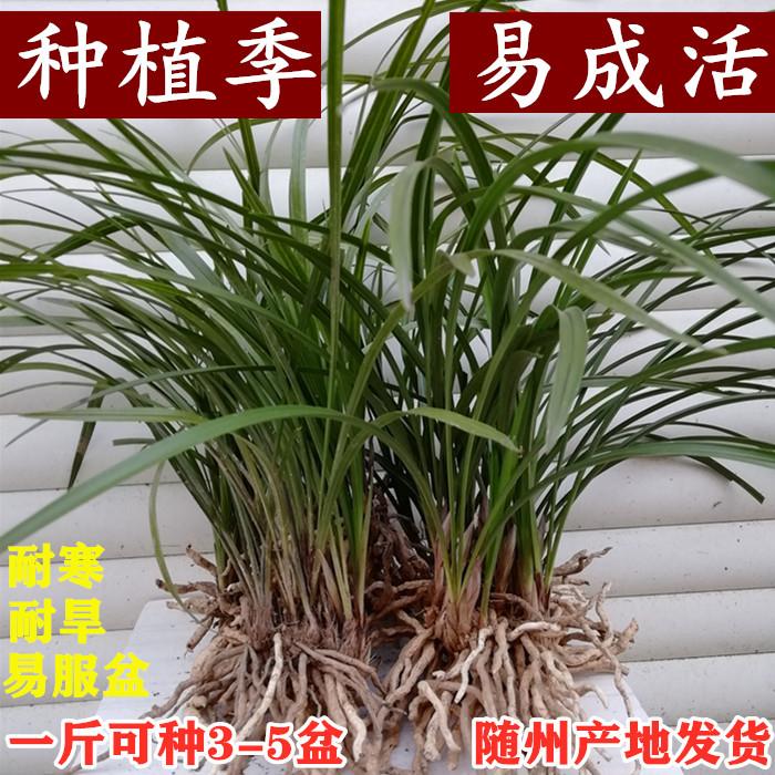 兰花苗春兰盆栽不带花苞浓香型蕙兰九头兰兰草室内四季绿植花卉土
