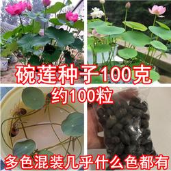 碗莲种子碗连种籽睡莲花室内水培四季花卉荷花根鱼共养盆栽包邮