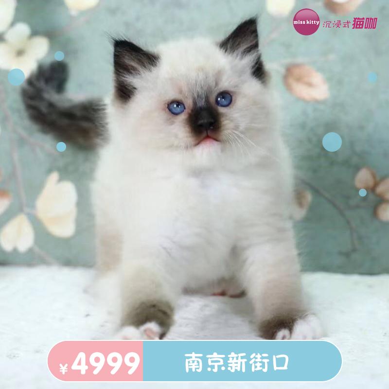 香港重点色布偶蓝重点猫咪活体宠物猫南京新街口cfa猫舍蓝猫美短