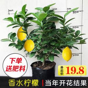香水柠檬树盆栽大棵可食用柠檬果树苗阳台庭院北欧风四季花卉绿植