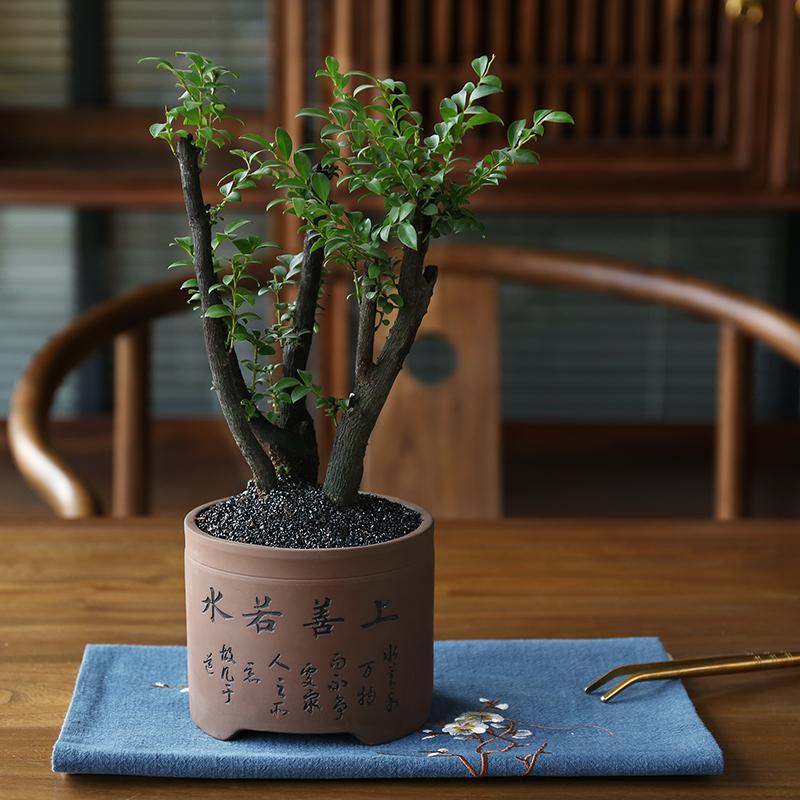 小叶紫檀盆景榆树植物盆栽室内黑骨茶树桩办公?#34915;?#26893;花卉观叶植物
