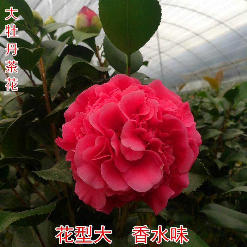 茶花苗克瑞墨大牡丹茶花盆栽带花苞美国浓香巨型绿植花卉植物庭院