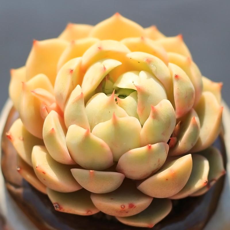 果冻色苯巴蒂斯精选多肉植物二木花园桌面阳台创意盆栽绿植满包邮(非品牌)