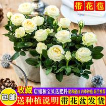 玫瑰花苗大花带花苞花卉观花绿植物盆栽月季蔷薇室内庭院阳台四季