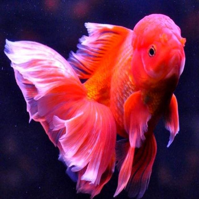 精品泰狮金鱼观赏鱼宠物鱼活体鱼苗黑寿包活 招财鱼黑色金鱼活体