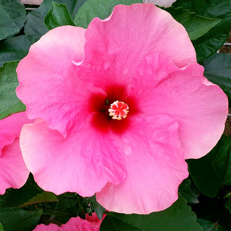 东篱园艺 丹麦木槿深粉色扶桑佛桑朱槿牡丹阳台盆栽花卉绿植四季