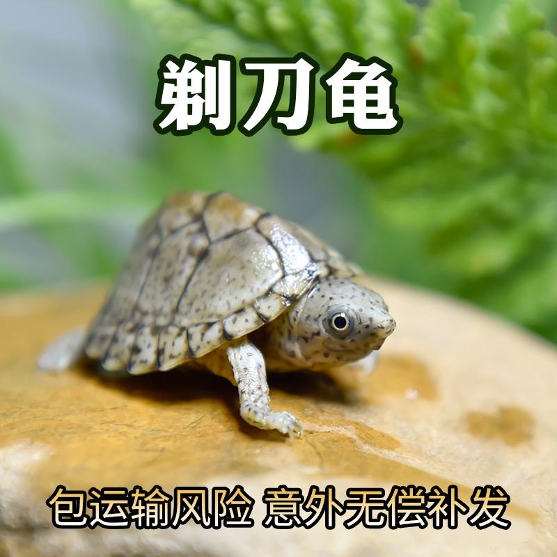 甲甲龟  剃刀深水龟苗活体蛋龟屋顶龟宠物观赏龟迷你鱼缸小乌龟