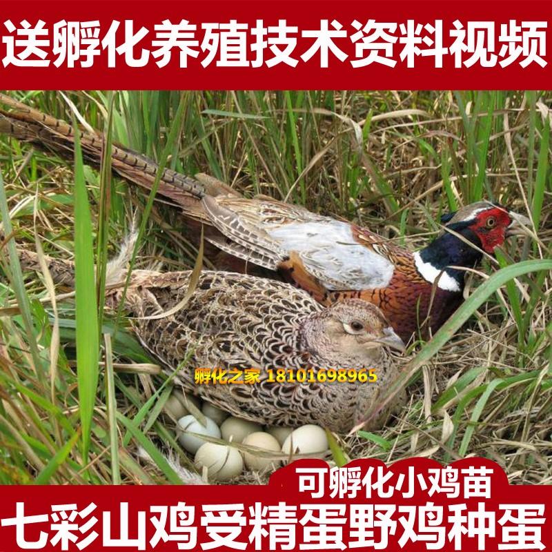 新鲜野鸡蛋种蛋受精蛋七彩山鸡蛋鸟蛋可孵化小鸡苗满20枚包邮