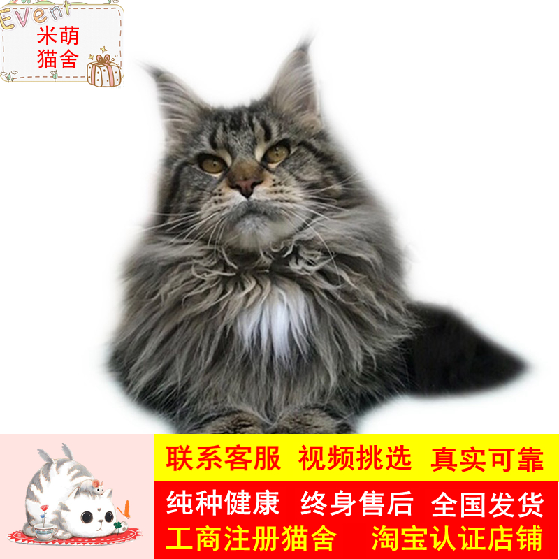 Maine live kitten purebred pet cat Brown Silver Tiger spot Maine Coon live smoke gray giant low price