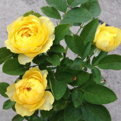 微月 金丝雀 月季花苗黄色大花香味适合阳台盆栽玫瑰不适合新手