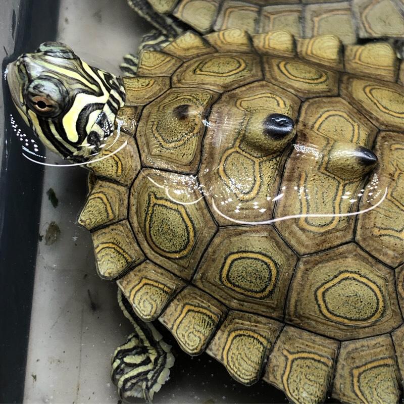【直播选龟】果5草龟黄耳地图剃刀麝香蛋龟火焰圆澳甜甜圈乌龟