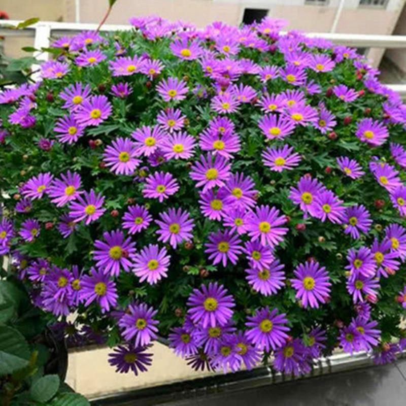 花种子四季易种活姬小菊室内外种籽