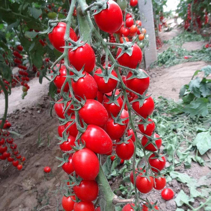 千禧樱桃番茄种子圣女果小番茄阳台盆栽四季西红柿种苗高产包邮
