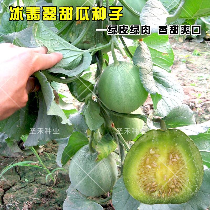 Emerald ice emerald melon seed green skin green flesh melon crisp vegetable fruit seed four seasons spring planting