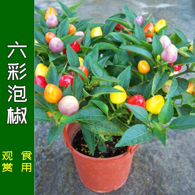 六彩泡椒种子五彩椒七彩多彩辣椒籽食用观赏四季阳台盆栽蔬菜苗孑