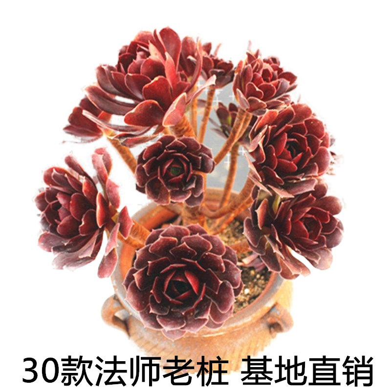 36款黑法师老桩黑法师多肉荷兰玫瑰多肉植物铜壶法师嘉年华红腹轮