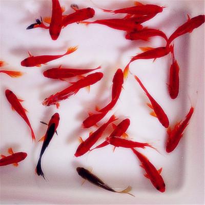 金鱼活体小金鱼小草金活体小锦鲤草金红狮子头观赏鱼冷水鱼鱼苗