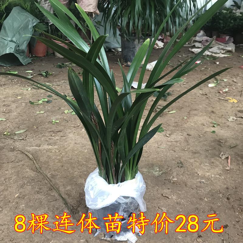 盆栽花卉盆栽黑雪姬桌面企黑墨兰(用6元券)