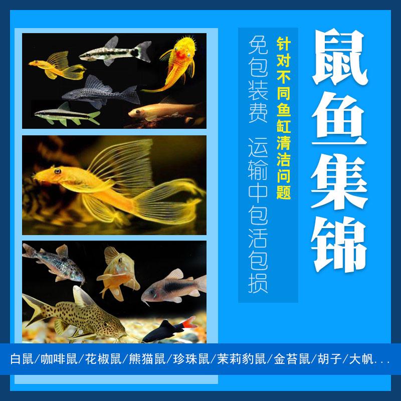 清道夫工具鱼淡水鱼金苔鼠鼠鱼胡子除藻鱼吃青苔鱼缸清洁活体包邮