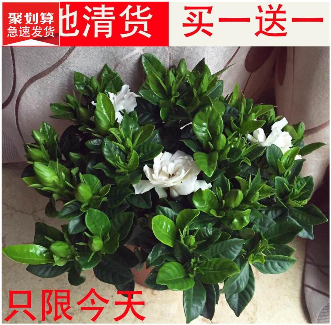 青嘴栀子花树浓香型小叶盆栽四季开花大棵客厅水培花卉植物室内。图片