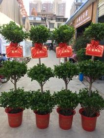 开业发财树盆栽摇钱树大型绿萝鲜花