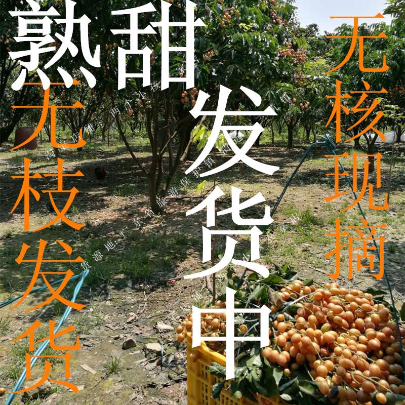 广东特产郁南无核黄皮果A级纯果粒无籽鸡心黄皮果新鲜水果孕妇5斤