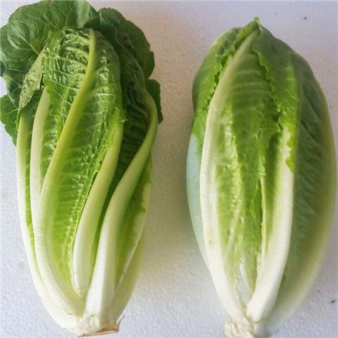 罗马直立绿叶生菜种子圆球沙拉叶菜蔬菜蔬果大田菜园盆栽菜籽