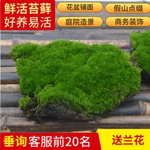 苔藓微景观diy水陆缸植物鲜活青苔盆景假山孢子粉盆栽造景白发藓