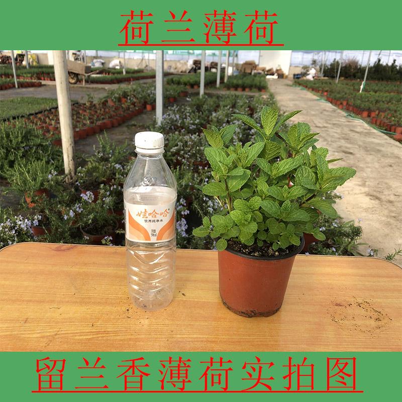 留蘭香ミントグリーンミント盆栽虫よけ植物オランダハッカ食用ハーブの水培茶包郵送