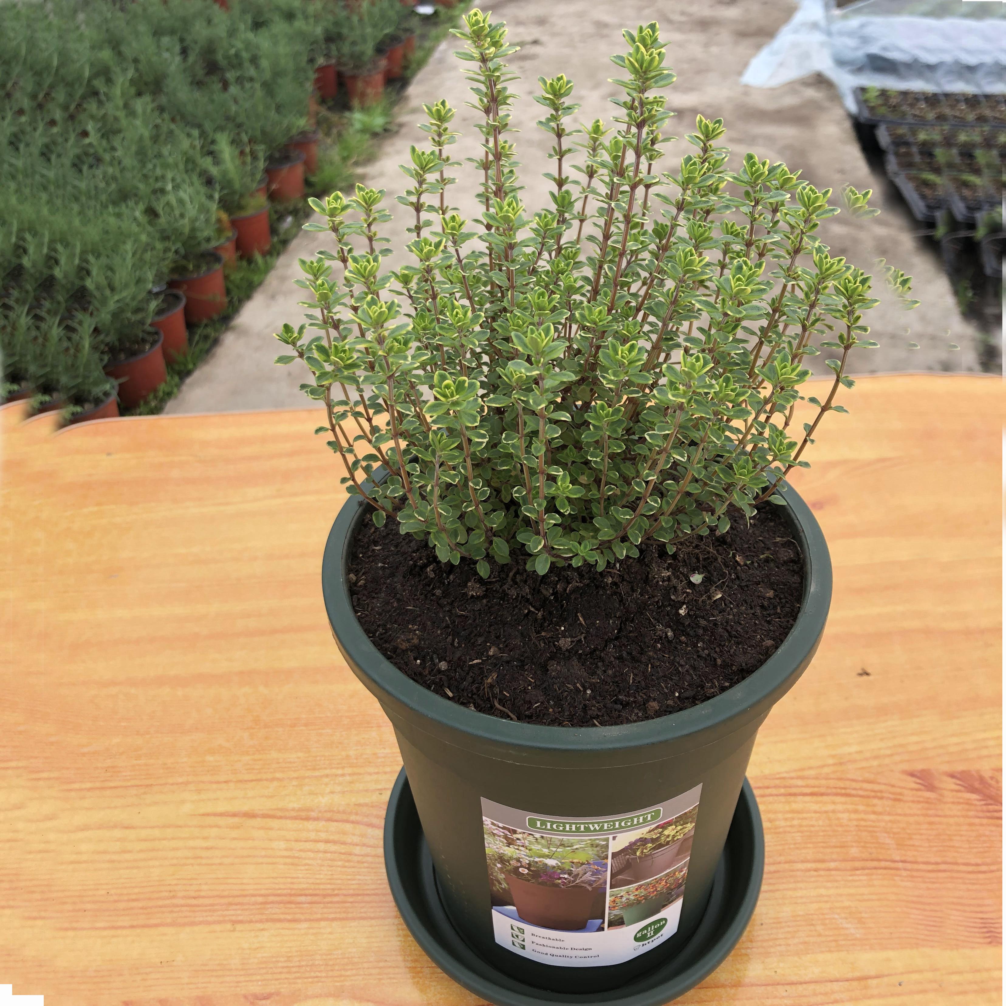 英国百里香盆栽 香草植物食用西餐调料 香草苗驱蚊绿植花卉盆栽