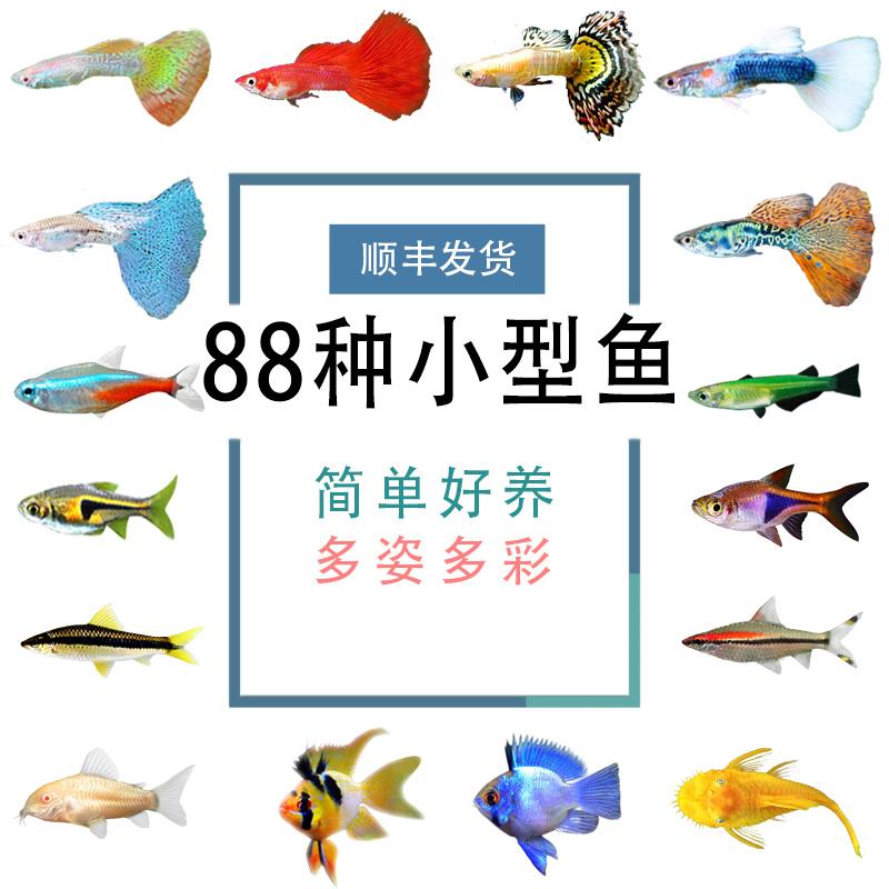 观赏鱼孔雀鱼活体鱼苗红绿灯鱼斑马鱼清道夫小型热带鱼淡水练手鱼