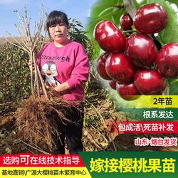 车厘子树苗大樱桃苗当年结果南北方种植地栽嫁接苗特大樱桃树矮化