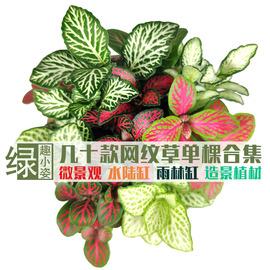 网纹草苔藓微景观生态瓶DIY造景 雨林缸水陆缸创意彩叶迷你小植物